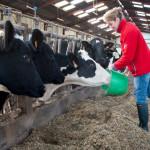 Eleveuse nourissant des vaches