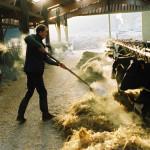Vacher dans la stabulation, paillage
