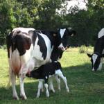 Veau tétant sa mère au champs