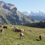 Un troupeau de vaches en montagne