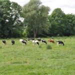 Un troupeau de vaches Prim'Holstein au paturage
