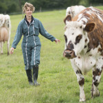 Une éleveuse et ses vaches normandes au champs
