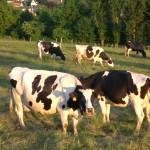 Vaches prim'holstein au champs, prairie