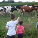 Vaches prim'holstein e tenfants au champs, prairie