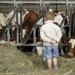 un enfant devant les vaches dans une ferme