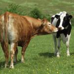 Une vache Limousine et une Prim'Holstein au pré
