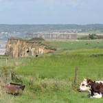 Une vache normande dans un pré