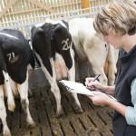 Comptage des vaches prim holstein par éleveuse