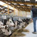 Alimentation des vaches normandes