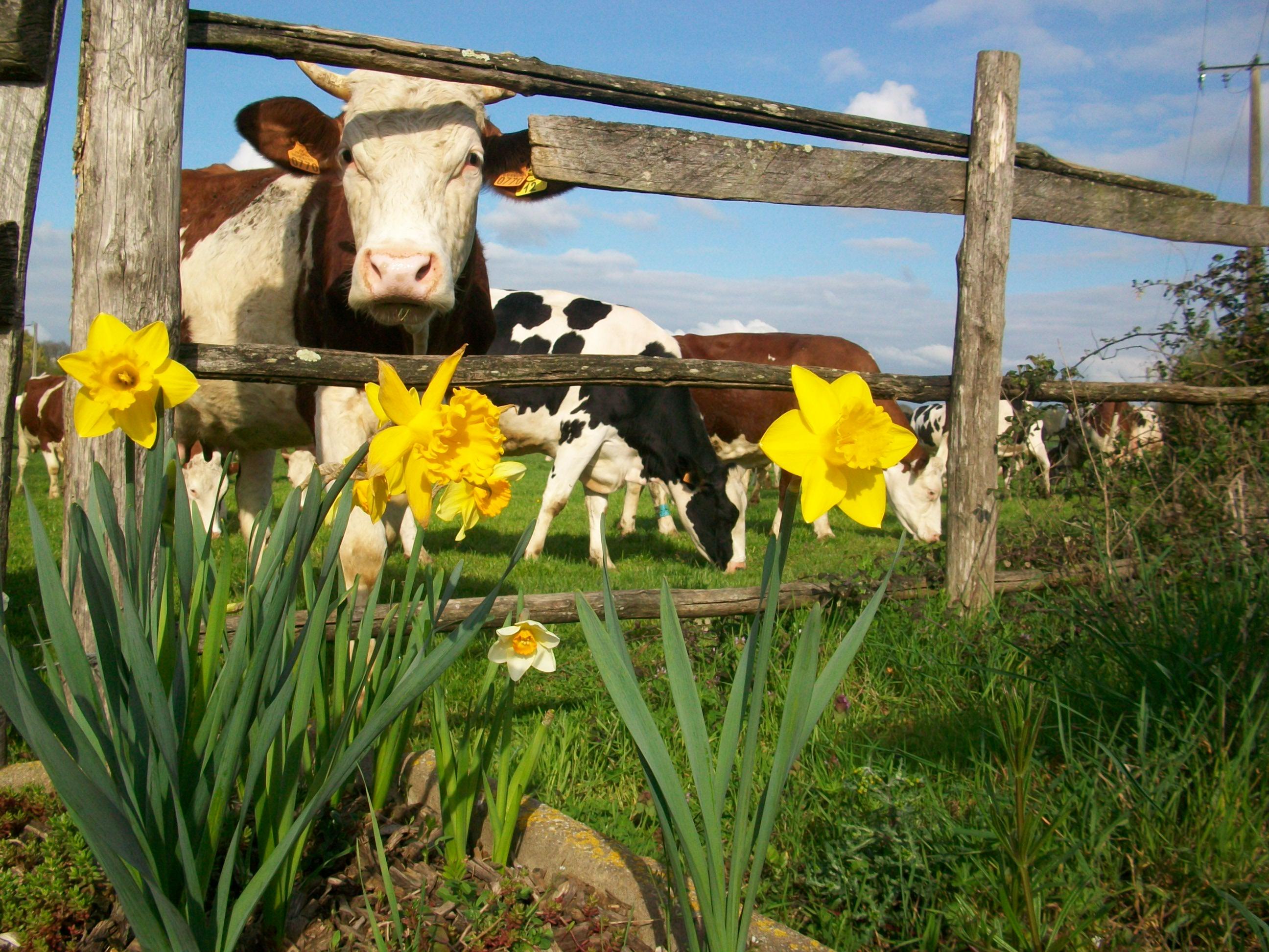 Vaches et jonquilles