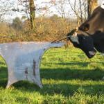 Vache Prim'Holstein qui se gratte champs La ferme pédagogique