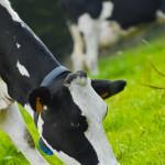 Vache Prim Holstein au champ herbe