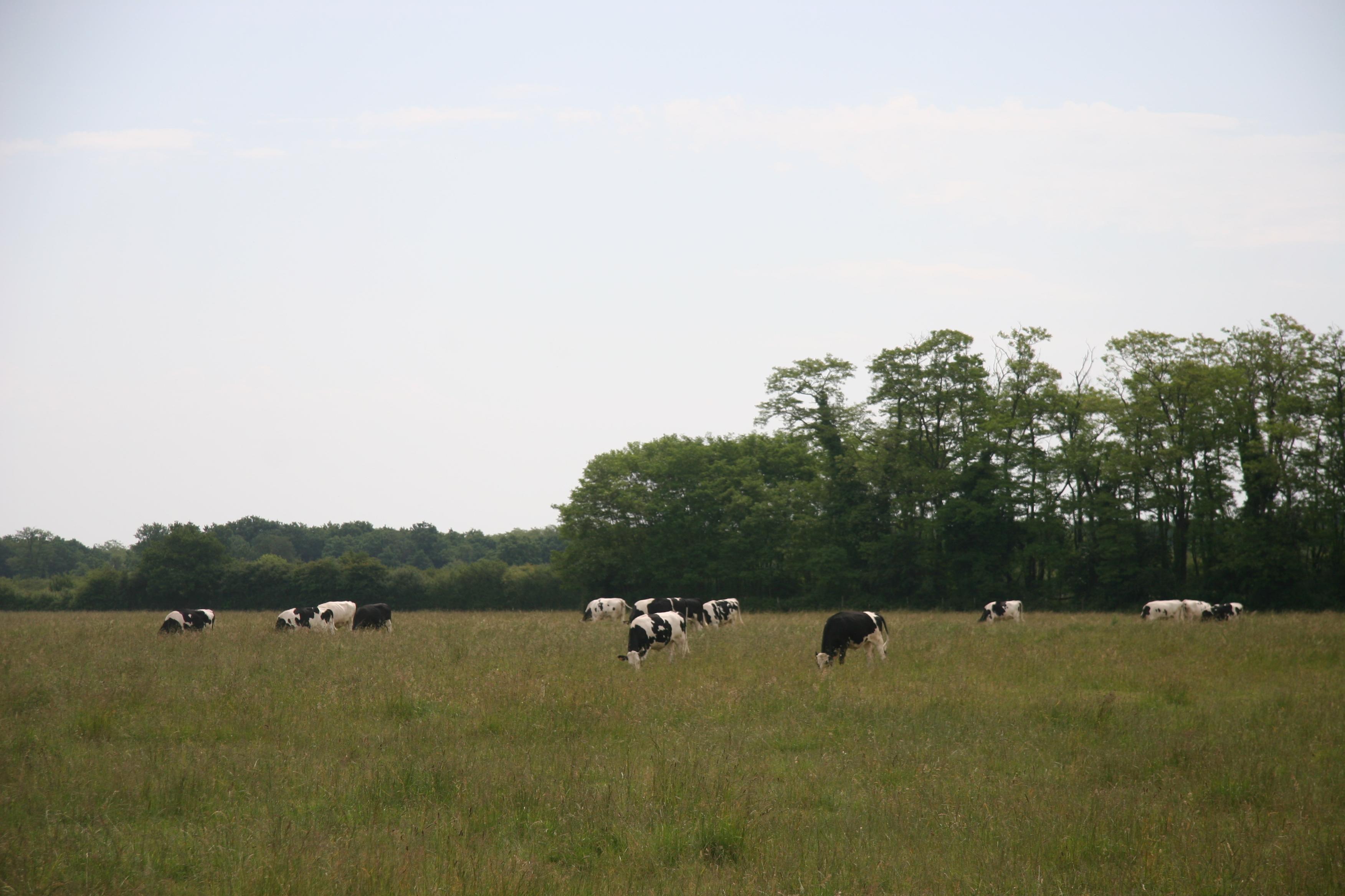 Vaches prim'holstein au champ, prairie Gaec du petit Chambord