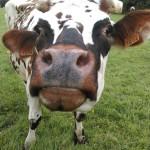 Vache normande Gros plan