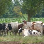 Vaches au pré arbres maïs