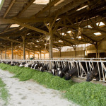 stabulation alimentation vaches herbe