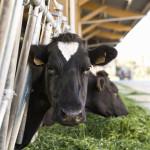 Vaches prim'Holstein qui mangent herbe au cornalis