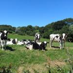 Troupeau de vaches Prim'Holstein dans champs prairie