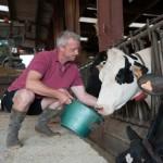 éléveur alimentation vache stabulation