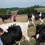 Eleveur vaches Prim Holstein prairie