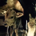 Veau et vache
