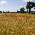 Champ coquelicots paysage