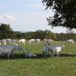 Chèvres pré Ferme de la cabriole