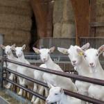Chèvres stabulation Ferme de la Cabriole