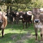 vaches brunes pré La ferme de la cabriole