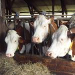 Vaches Montbéliardes au cornalis