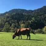 vache tarine montagne prairie