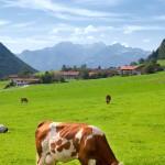 vache montbéliarde champs paysage