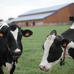 Vaches Prim'Holstein pré ferme des délices