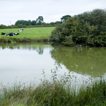 étang et vaches prim'holstein