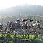 vaches montbéliardes au pré