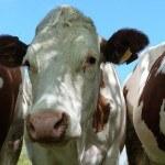 Gros plan vaches montbéliardes