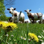 vaches montbéliardes au pré avec fleur ferme Marie Anes