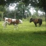 Veau et poney prairie Ferme du Semnon