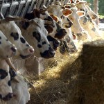 Vaches normandes stabulation Ferme Lieu Roussel