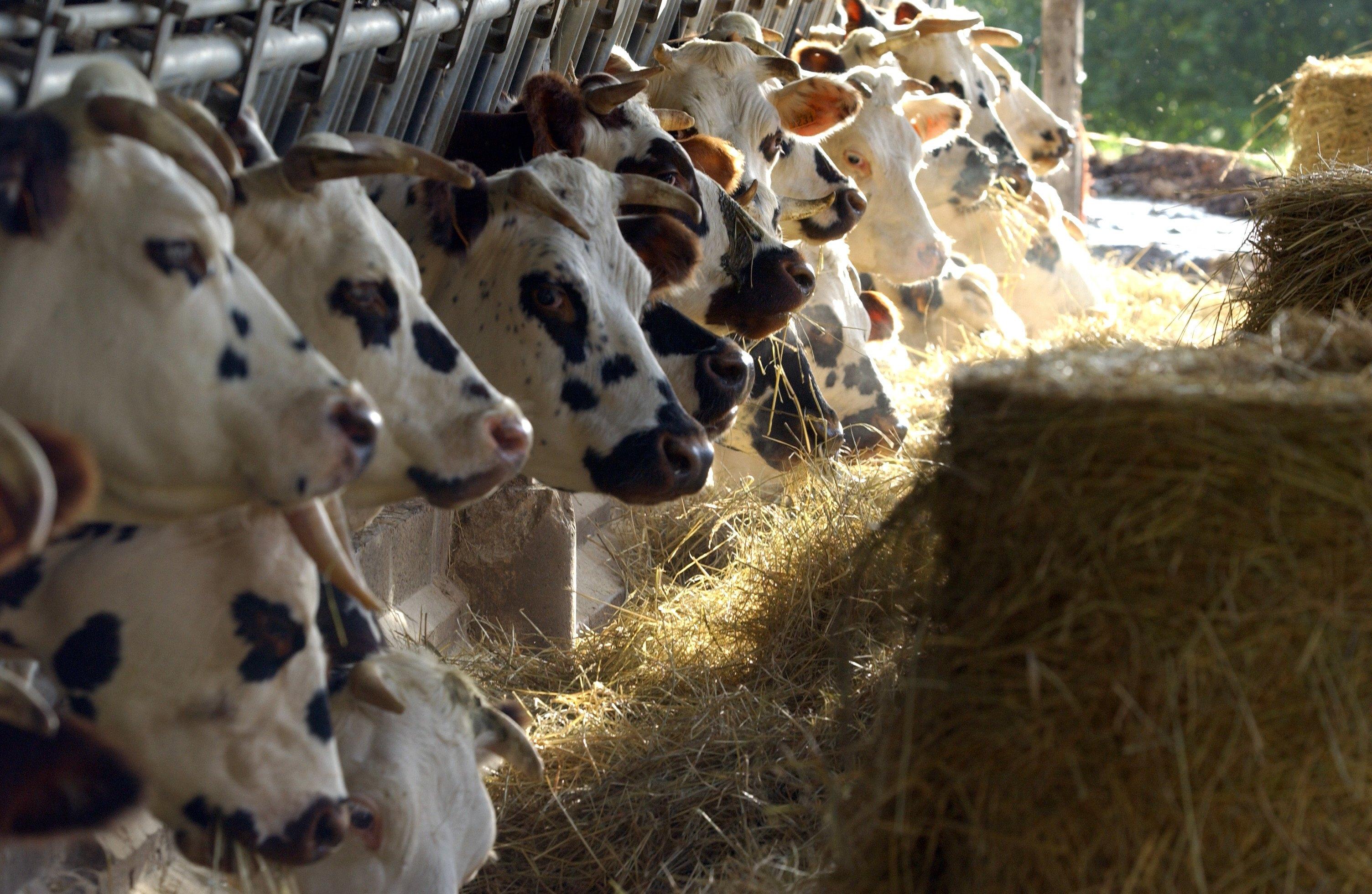 Vaches normandes stabulation Ferme Lieu Roussel