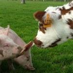 Vache Normande et cochon Ferme Lieu Roussel