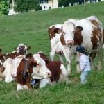 Vaches montbeliardes et enfants ferme CANTEUX