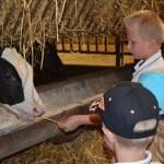 Enfants à l'étable avec veau prim'holstein, ferme pédagogique