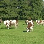 Vaches montbéliardes dans champs, pré herbe