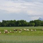 Vaches Abondance dans prairie, pré, herbe