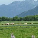 Vaches Abondance dans prairie, pré, herbe montagne