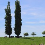 Peupliers et prairies et vaches