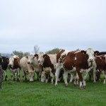 Eleveuse et vaches dans prairie