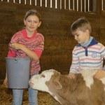 Enfants qui donnent la buveau a un veau montbelliard