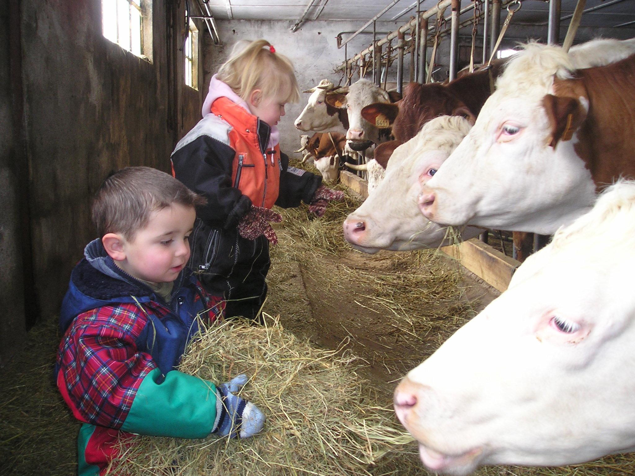 Enfants donnant le foin aux vaches montbéliardes dans étable